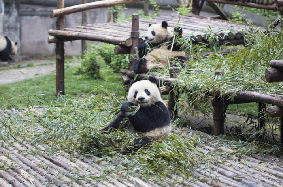 All-inclusive Chengdu Highlight Panda Private Tour and Customizable Sites