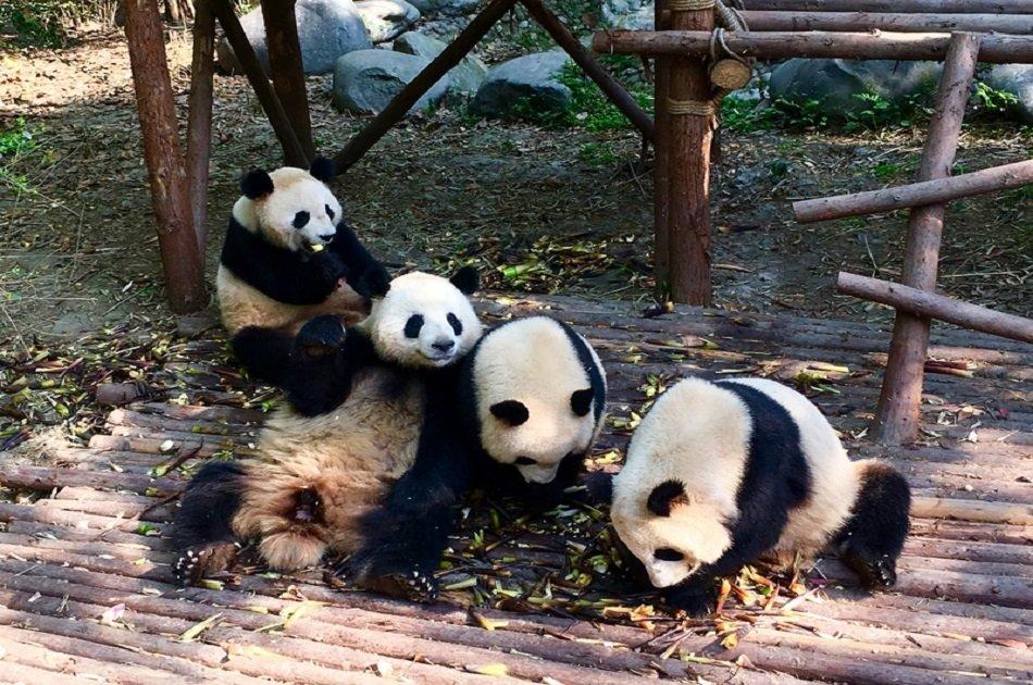 Chengdu Full-day Private Tour of Panda Hometown and Taoist Mountain