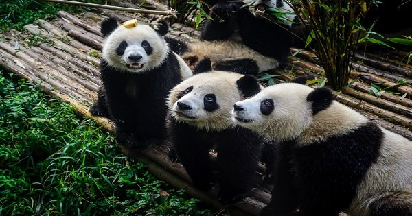 Chengdu Half Day Amazing Panda Base Private Tour