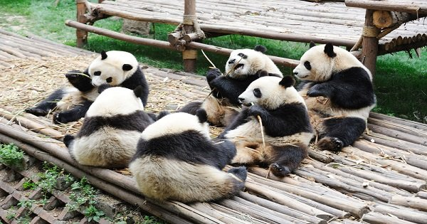 Chengdu Panda Private Volunteer Program at Dujiangyan Panda Base