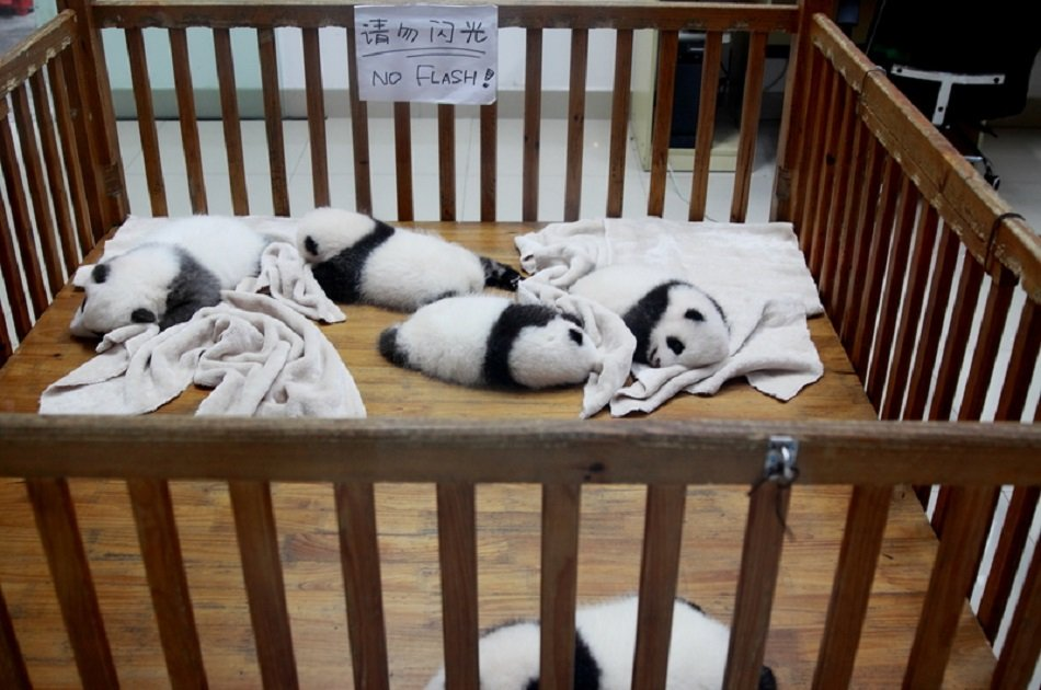 Chengdu Private Day Tour of Panda Holding Experience and Dujiangyan