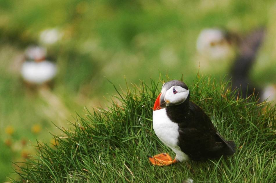 Whales, Puffins and Reykjavik