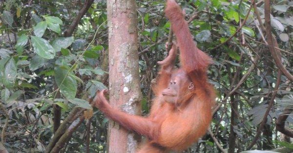 3 Days Medan - Bukit Lawang Orangutans Tour