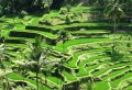 Kintamani and Ubud Private Tour