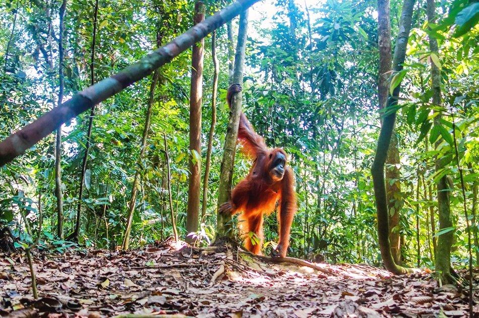 North Sumatran Orangutan and Jungle Trekking