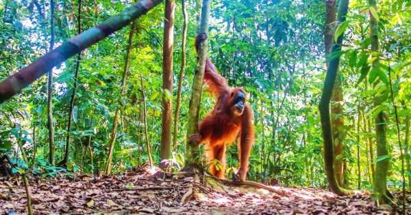 North Sumatran Orangutan and Jungle Trekking
