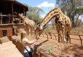 Daphne Sheldricks, Karen Blixen Museum & Giraffe Centre Tour in Nairobi