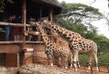 Kenya Heartwarming Half Day Safari of an Elephant Orphanage & Giraffe Centre