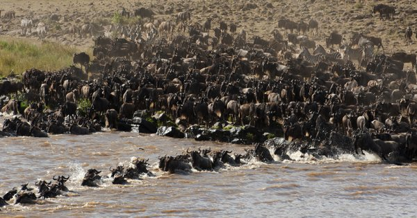 3 Days : Masai Mara Wildebeest Migration