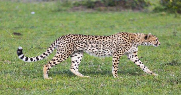 7-Day Kenya safari - Amboseli, Naivasha, Nakuru, and Masai Mara
