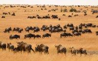 3 Days : Masai Mara Wildebeest Migration