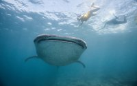 Maldives Tour With Whale Sharks & Manta Snorkeling