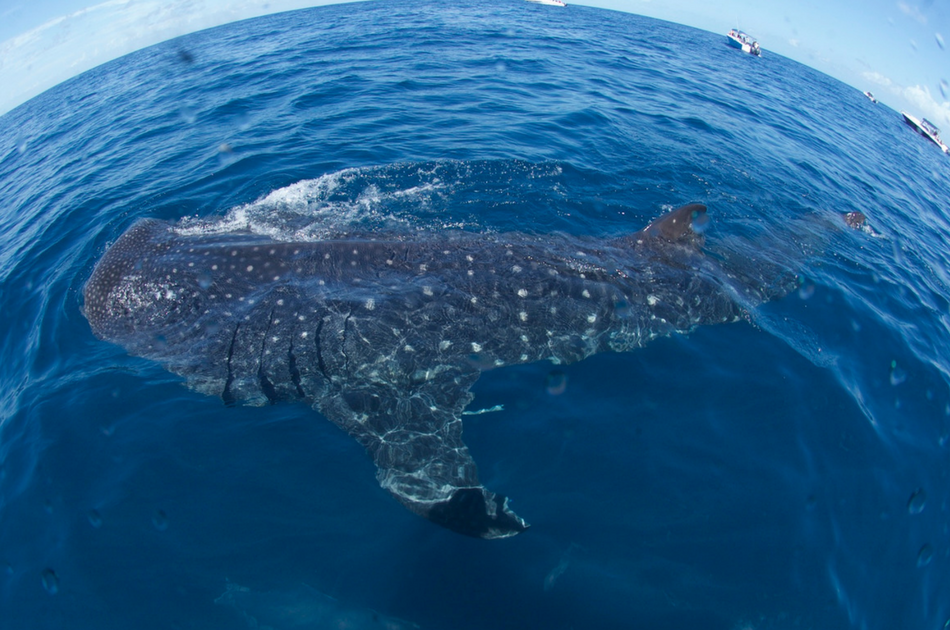 Whale Sharks and Sea Turtles 7 Hour Guided Tour, Mexico