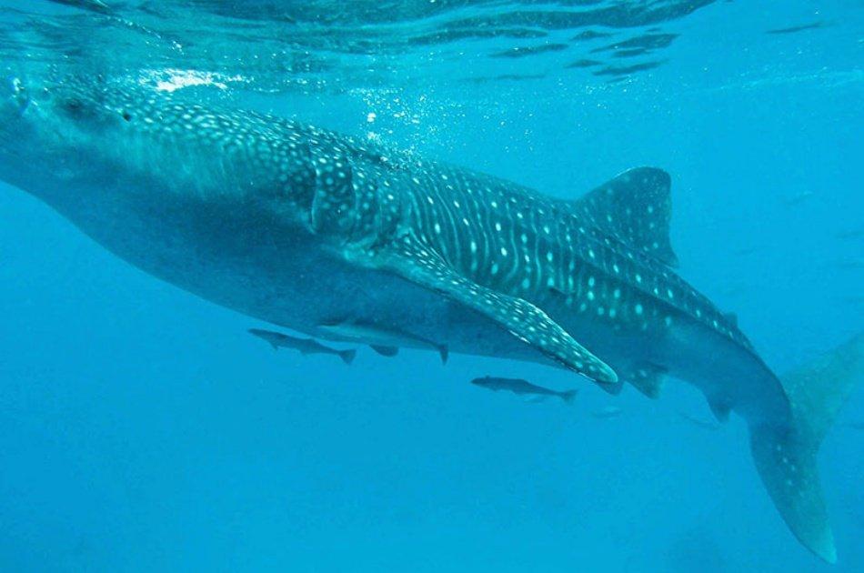 Oslob Whaleshark Snorkeling