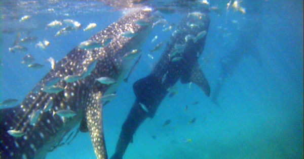 Whaleshark Private Interaction with Kawasan Falls from Cebu City