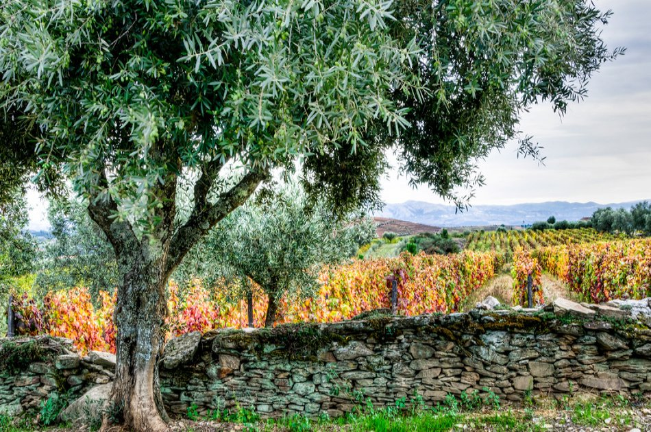 Douro Olive Harvest Small Group Tour with Olive Picking & Wine Tasting from Porto