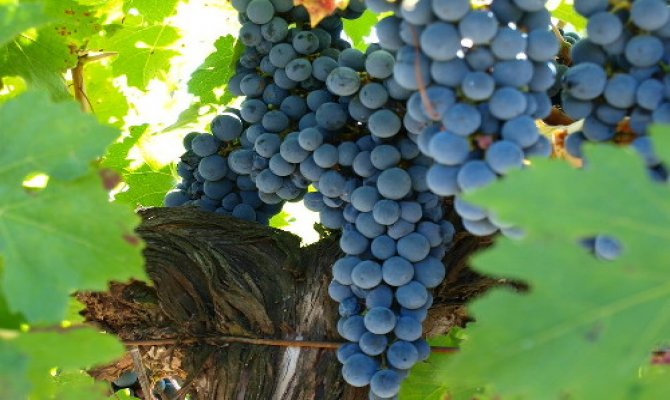 Discover Organic Wine in the Penedes Wine Region