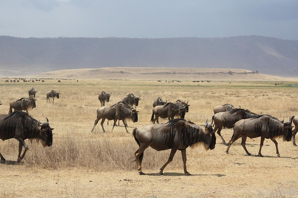 8 Days Migration of Wildbeest Safari Ngorongoro Crater/Serengeti Plains/Ndutu Area