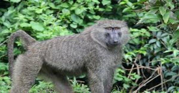 10 Days Primate Experience And Queen Elizabeth Safari