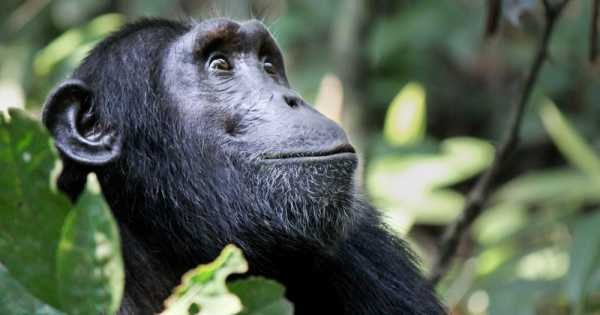 5 Day Gorilla Trekking, Big 5 & Big Cats in Uganda