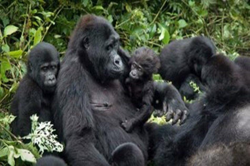 5 Day Gorilla Trekking, Big 5 & Big Cats in Uganda