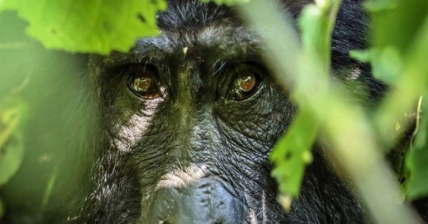 6 Days Gorilla And Golden Monkey Trekking  Mgahinga National Park
