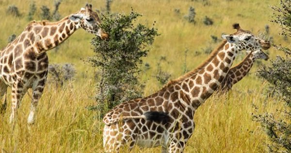 7 Days Murchison Falls, Semliki & Kibale Forest
