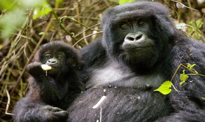 6 Day Chimps, Gorillas and Big Game Combo