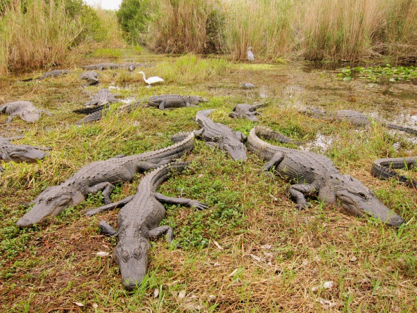 Florida S Best Airboat Tours The Secrets Of The Everglades