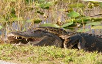 Florida's Best Airboat Tours the Secrets of the Everglades
