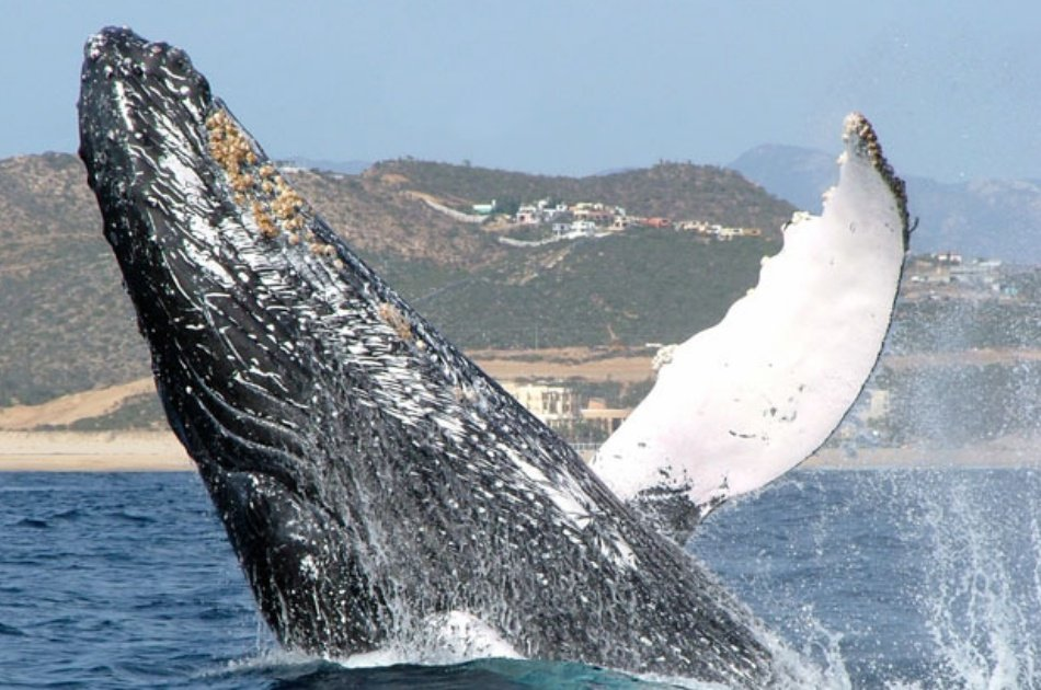 Humpback Whale Watch Private Charter for 2, 3 or 4 Hours