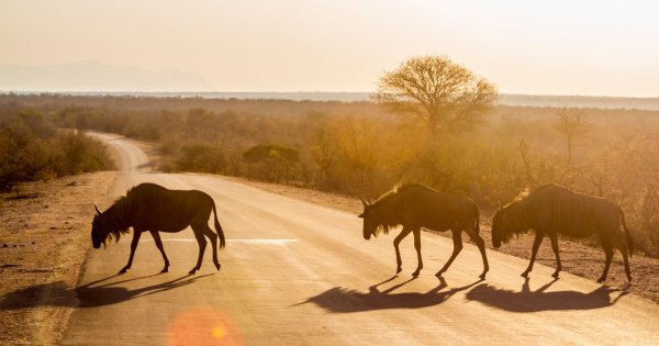 Look Out for Lions on Limpopo & Kruger Parks Private Safari Tours