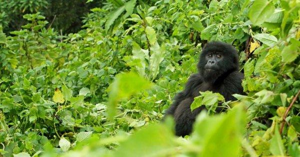 Senses Erupt on Thrilling Safari Tours in Volcanoes National Park